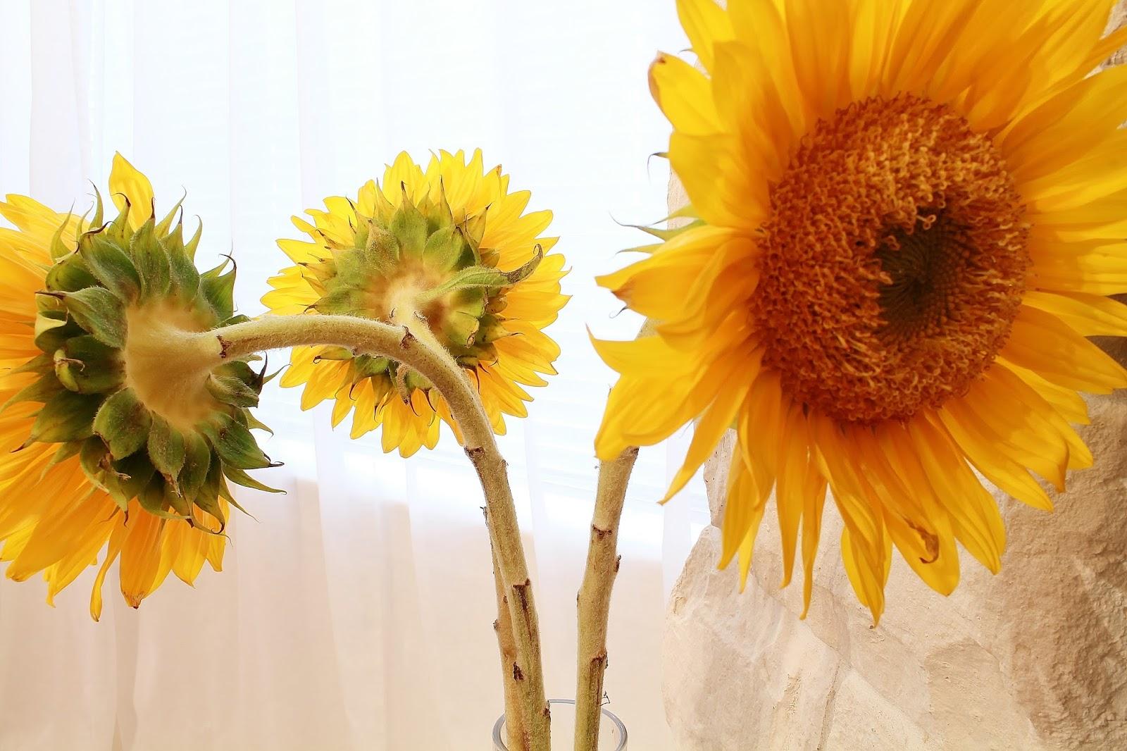 sturch photography sunflowers fibonacci and the zen of
