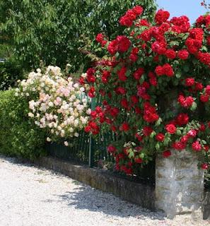 Il piccolo giardino di l un altra piccola rosa for Potatura rincospermo
