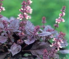 gambar daun selasih ungu