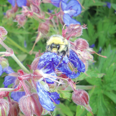 bee in walled garden at Culzean Castle