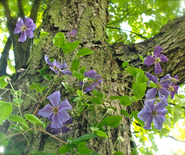 Clematis 'Perle d'Azur' blooming on our mature maple tree in the Shade Path Garden.