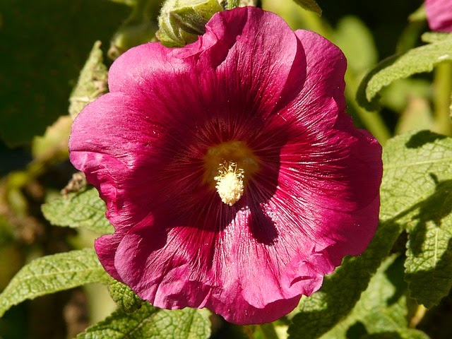 alcea for treating cold