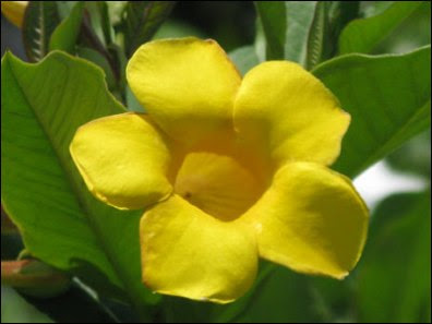Allamanda Golden Trumpet Flowers