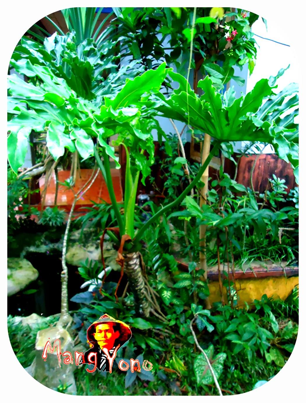 Tanaman Philodendron / Pohon Cinta