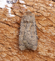 Latest New Macro Moth Species - Dotted Rustic