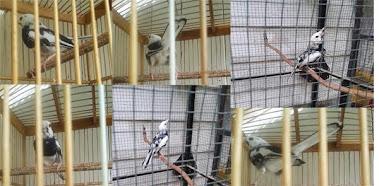 Gambar Burung Kacer Putih
