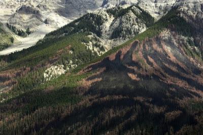 Beberapa Pohon Yang Mati Akibat Serangan Serangga di Kanada