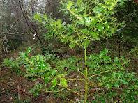 """Exemplar de boix grèvol """"Ilex aquifolium"""" trobat a la vessant obaga del Coll de Marfà"""