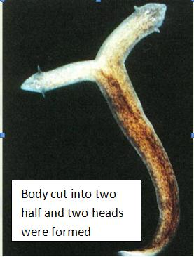 Turbellaria flatworms can reproduce asexually by pic 29