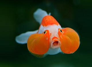 Bubble Eye Goldfish photo