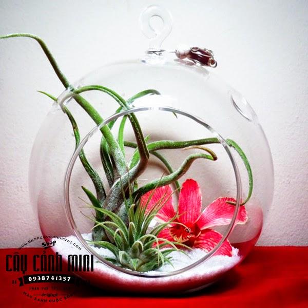 Cây không khí bình tròn thủy tinh móc treo hoa và cây