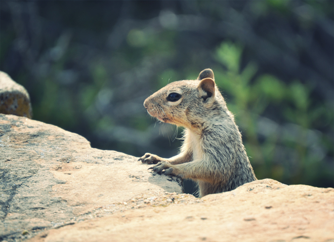 The Flying Clubhouse: Grand Canyon II - rock squirrel