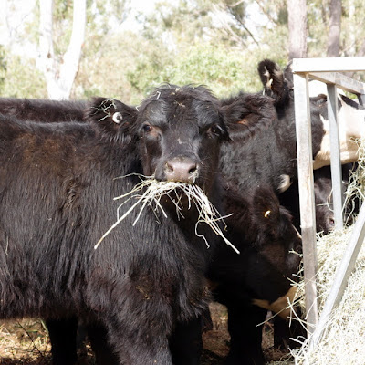 eight acres: cattle terminology