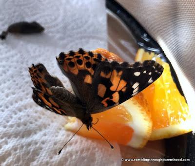 Feeding on an orange