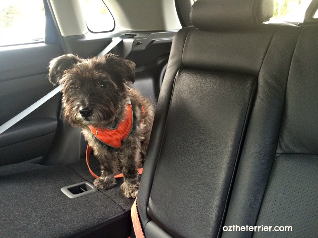 Oz the Terrier shows fold down back seats in Mitsubishi Outlander Sport