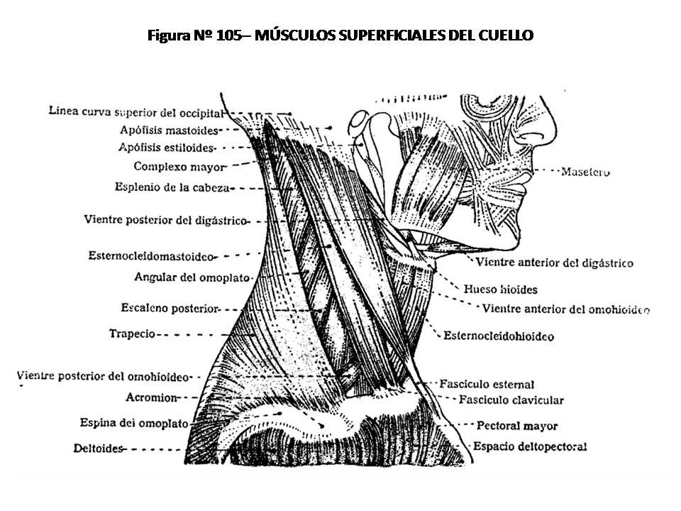 ATLAS DE ANATOMÍA HUMANA: 105. MÚSCULOS SUPERFICIALES DEL CUELLO