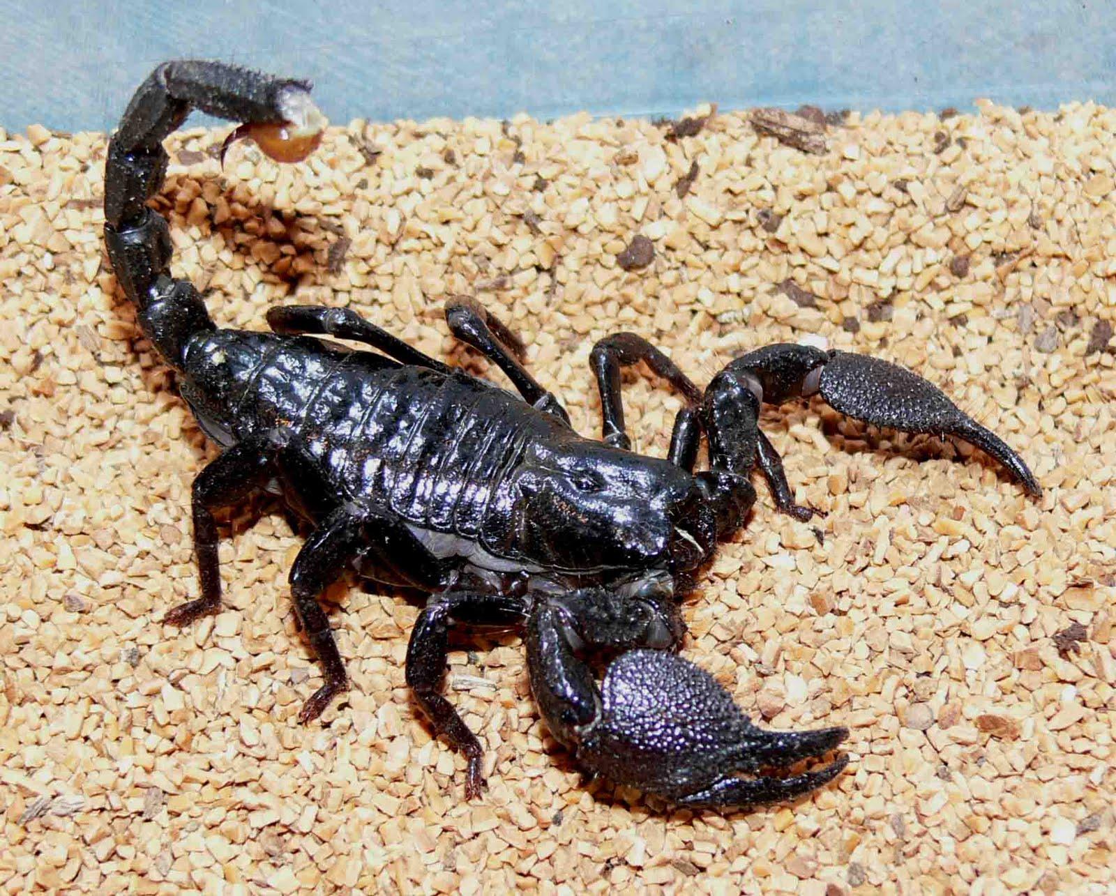 King scorpion animal - photo#7