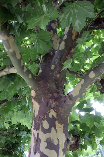 platantræ beskæring