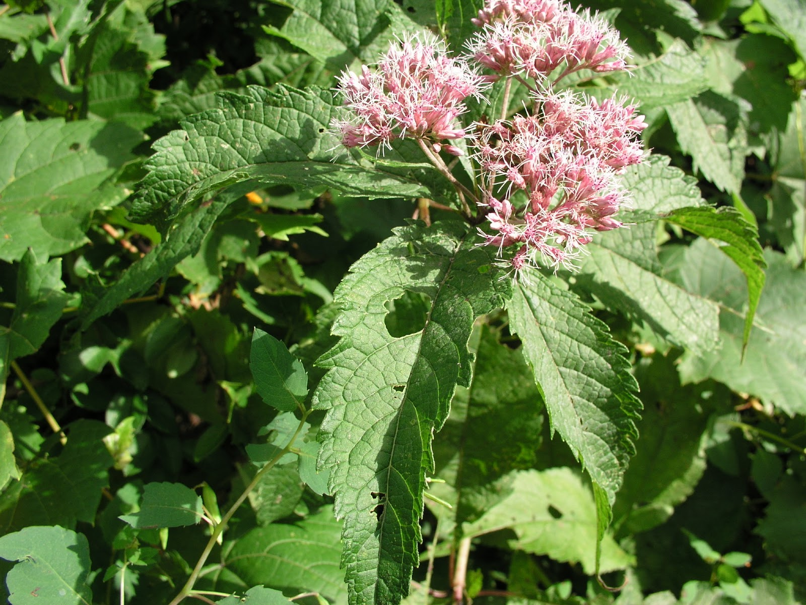 Herbs health and history hasty helpful weeds joe pye for Joe pye weed