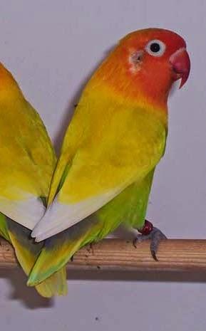 pin lovebird pastel ijo trah lutino for sale magelang