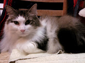 ADOPTED!  ZEKE - MAINE COON