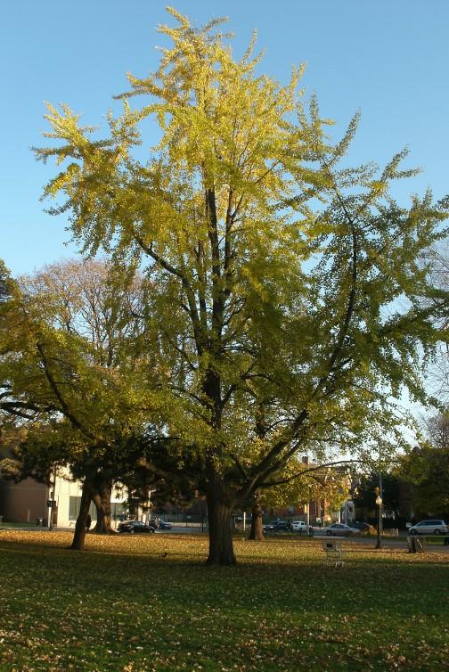 Gingko biloba Maidenhair tree Allan Gardens Park by garden muses-not another Toronto gardening blog