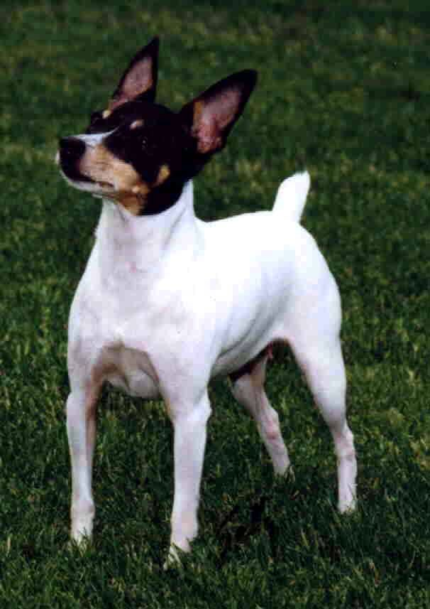 Toy Fox Terrier Intelligent Dog