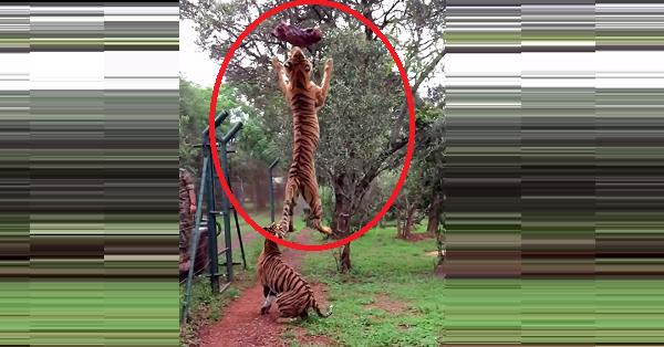 salto del tigre