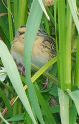 Nelson's Sparrow (Ammodramus nelsoni)