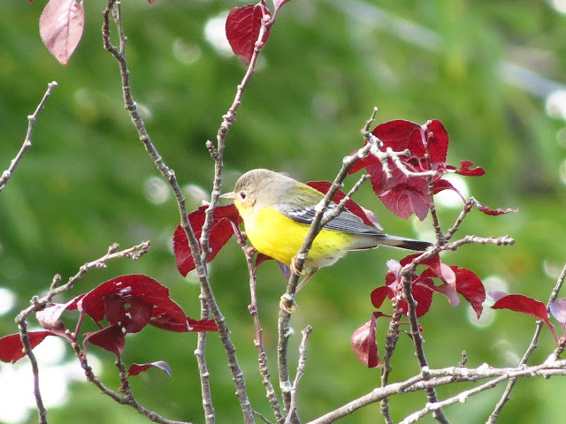 magnolia warbler two