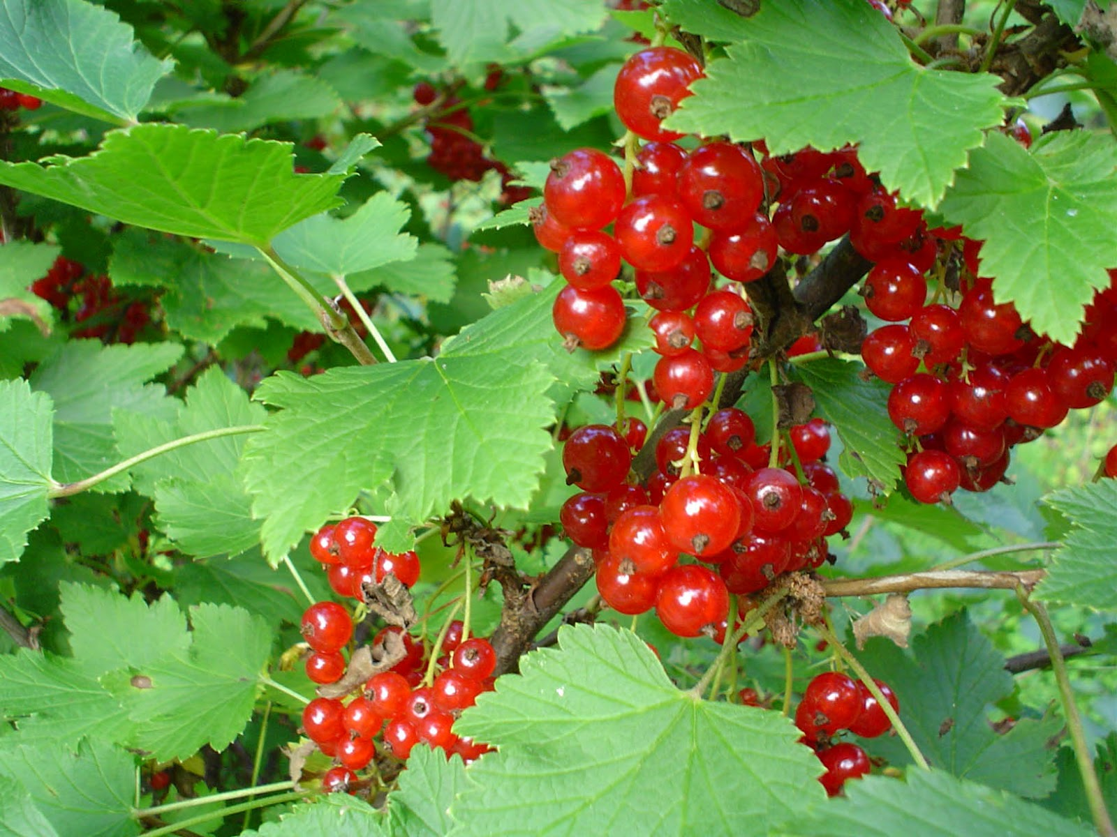 Fruit Warehouse: Redcurrant ( Ribes rubrum )