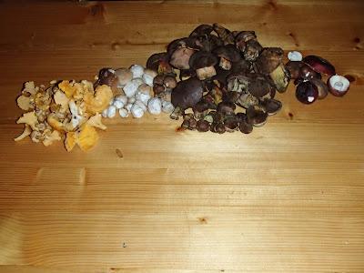 Orawa. Lipnica Wielka, grzyby sierpnia, sierpniowe grzybobranie, grzybobranie na Orawie, siatkolist, siatkoblaszek maczugowaty, Gomphus clavatus, borowik szlachetny, Boletus edulis, muchomor czerwieniejący, Amanita rubescens,pieprznik jadalny, kurka, Cantharellus ciborius koźlarz babka, Leccinum scabrum