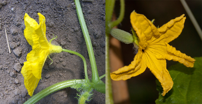 Flor masculina y flor femenina del pepino