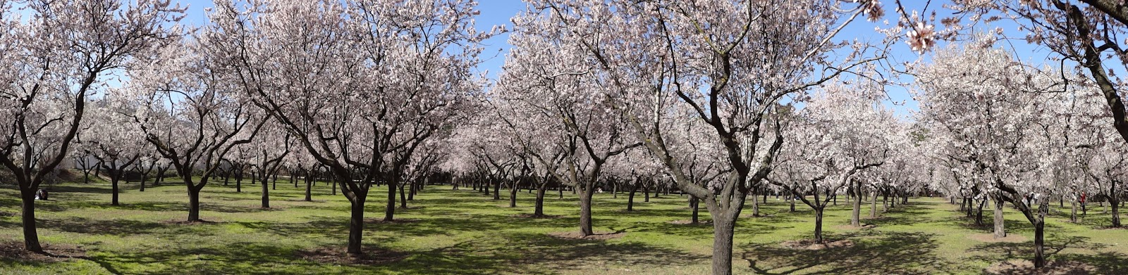 Almendros en flor en La Quinta de los Molinos