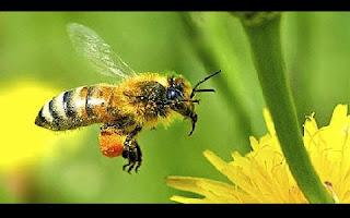 As abelhas não estão se adaptando bem às mudanças climáticas. Ao invés de migrarem para o norte para buscarem temperaturas mais clementes, estes insetos cruciais para a polinização estão morrendo, de acordo com um estudo divulgado nesta quinta-feira. A pesquisa publicada na revista Science é o primeiro estudo que explica a responsabilidade da mudança climática para o declínio das populações de abelhas e mamangabas a nível mundial.