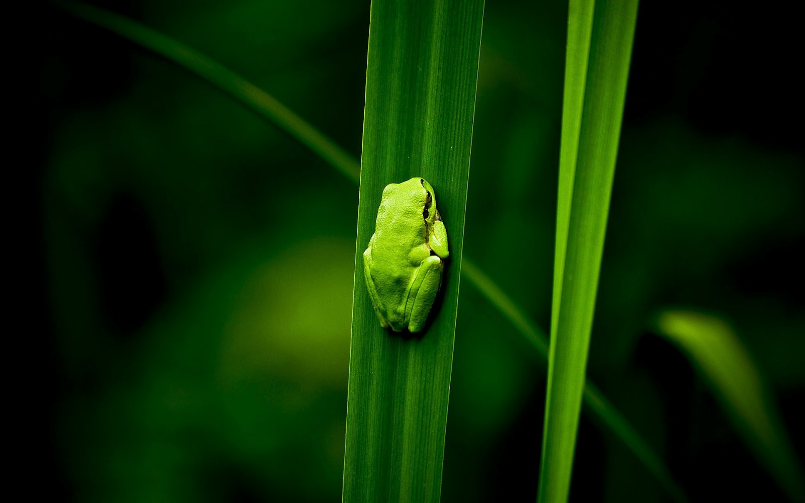 http://1.bp.blogspot.com/-1OLc5c1OvnU/UCQaUSsN_xI/AAAAAAAAAOc/xUknyGubWvw/s1600/hd-frog-wallpaper-with-a-green-frog-on-a-green-leaf-background-picture.jpg