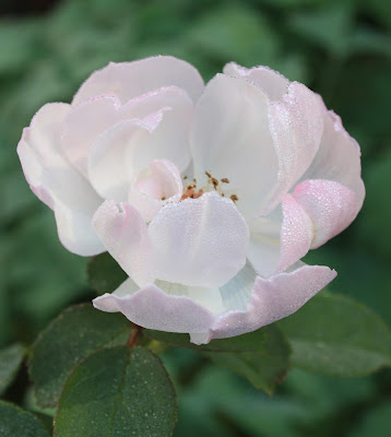 Rose, white, pink, photograph, Sarah Myers, S. Myers, art, arte, stamens, rain, dew, petals, translucent, plants, floral, autumn, fall