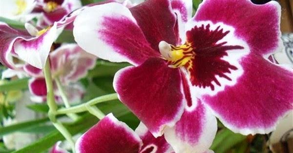Dark Kenshin Contoh Report Text Tentang Bunga Anggrek Orchid