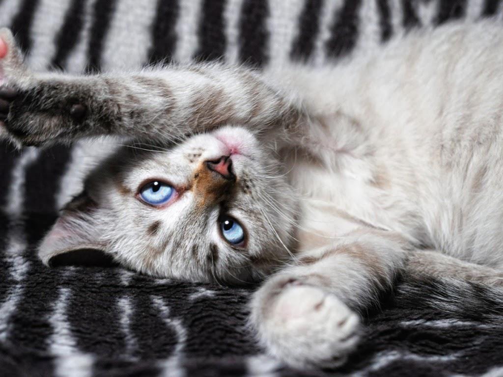 """<img src=""""http://1.bp.blogspot.com/-1P1oWotFzpI/UtrgLeiSBzI/AAAAAAAAI4w/KZDbIq0sw94/s1600/kitten-playing.jpeg"""" alt=""""kitten playing"""" />"""