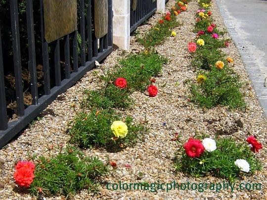 Moss-rose border