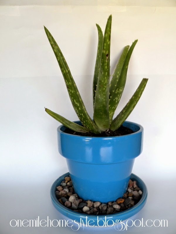 Aloe plant in a bright blue flower pot
