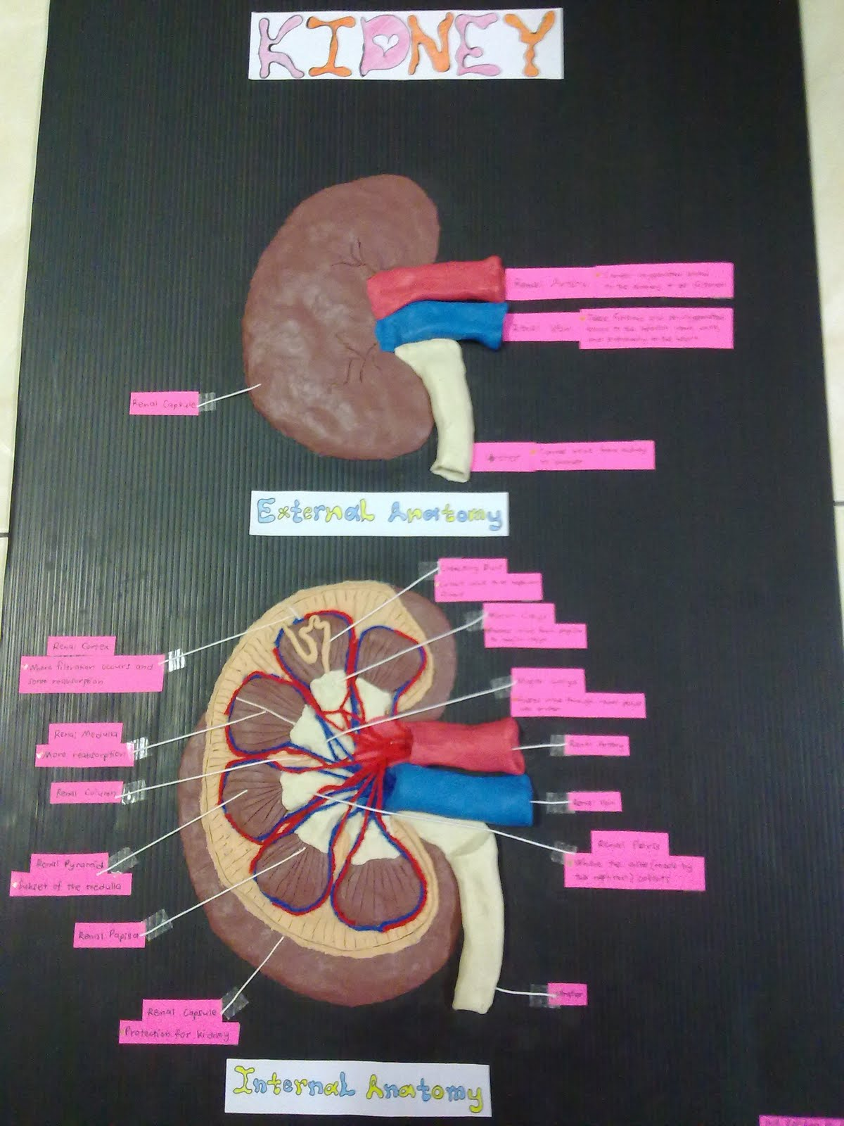 Firahlilo How To Make A Kidney Model