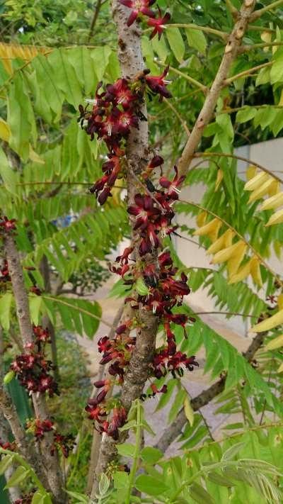 Starfruit wuluh