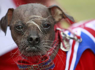 Mugly 2012 World's Ugliest Dog by dear miss mermaid