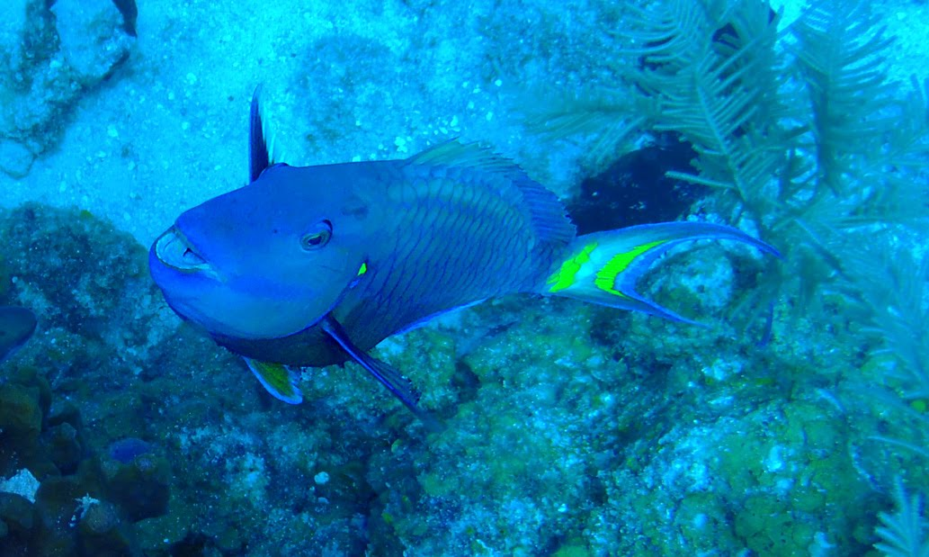 Diving in paradise glover 39 s atoll belize travel adventure for Blue parrot fish