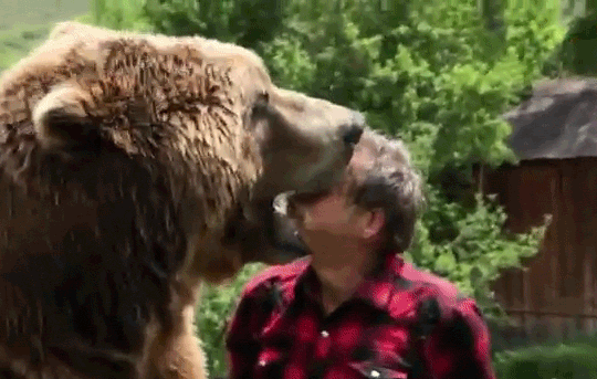 the 'dog man' and grizzly man crossing Bear falls into river while crossing rm videos  grizzly bear falls off log  man who thought he was raising a dog discovers it's a bear.