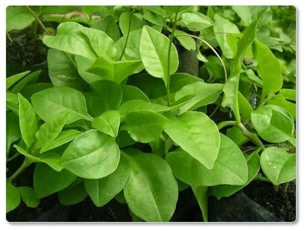 Macam-macam tanaman herbal dan khasiatnya | suplier tanaman