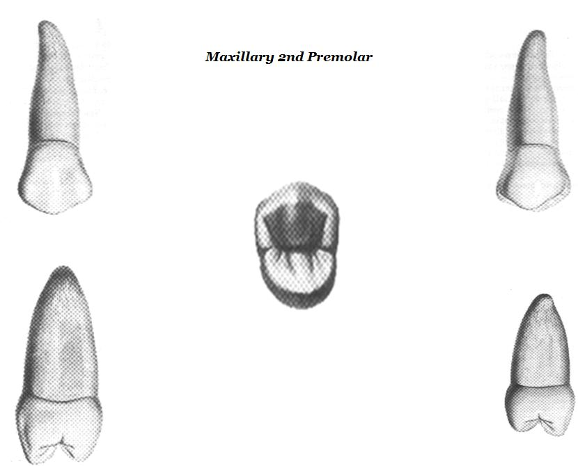 Anatomy Of Maxillary First Premolar