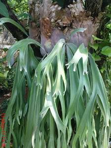 tanaman hias,paku tanduk simbar,karakteristik,perawatan