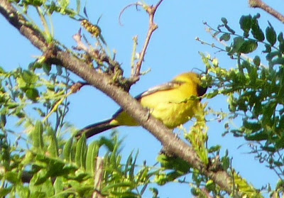 young male Orchard Oriole